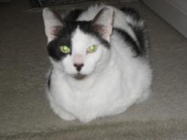 Photo of TOMMY, a cat