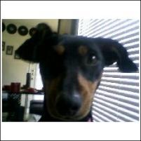 Photo of Schnitzel, a dog