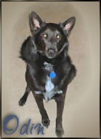 Photo of Odin, a dog