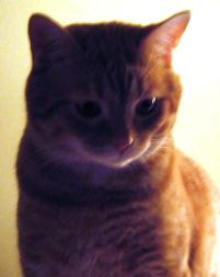 Photo of Boux-Boux, a cat