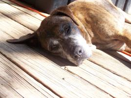 Photo of Old Dog/Brindle, a dog