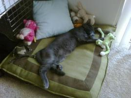 Photo of Tommy Gargoyle, a cat