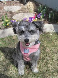 Photo of Blossom, a dog