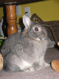 Photo of Puddin', a rabbit