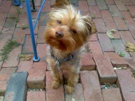 Photo of LuLu Mocchachino, a dog