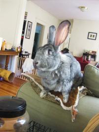 Photo of Ashley, a rabbit