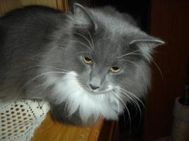 Photo of Angelo, a cat