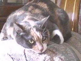 Photo of Callie, a cat