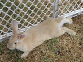 Photo of Butterscotch, a rabbit