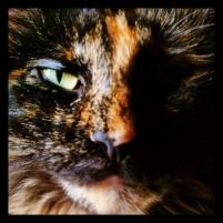 Photo of Cocoabean, a cat