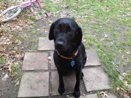 Photo of Niki, a dog