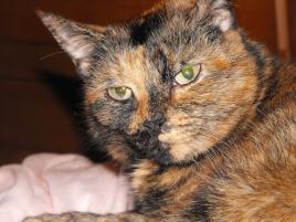 Photo of Mesmer, a cat