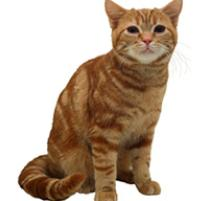 American Shorthair Cat Breed