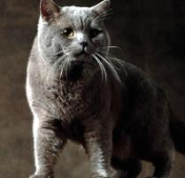 British Shorthair Cat Breed