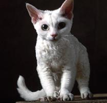 Image result for devon rex cats