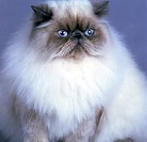 Himalayan cats in texas