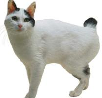 Japanese Bobtail Cat Breed