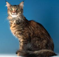 INOpets.com Anything for Pets Parents & Their Pets Maine Coon Cat Breed