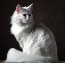 Norwegian Forest Cat Cat Breed
