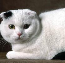INOpets.com Anything for Pets Parents & Their Pets Scottish Fold Cat Breed