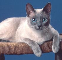 INOpets.com Anything for Pets Parents & Their Pets Siamese Cat Breed