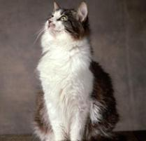 INOpets.com Anything for Pets Parents & Their Pets Siberian Cat Breed
