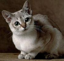 INOpets.com Anything for Pets Parents & Their Pets Singapura Cat Breed