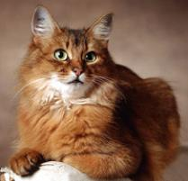 INOpets.com Anything for Pets Parents & Their Pets Somali Cat Breed