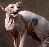 INOpets.com Anything for Pets Parents & Their Pets Sphynx Cat Breed