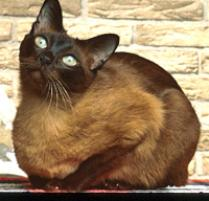 INOpets.com Anything for Pets Parents & Their Pets Tonkinese Cat Breed