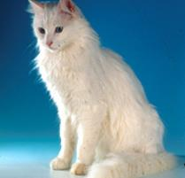 INOpets.com Anything for Pets Parents & Their Pets Turkish Angora Cat Breed