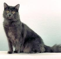 INOpets.com Anything for Pets Parents & Their Pets Nebelung Cat Breed