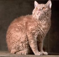 INOpets.com Anything for Pets Parents & Their Pets Selkirk Rex Cat Breed