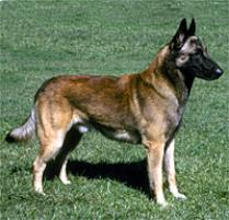 Belgium Malamar Dog Breed