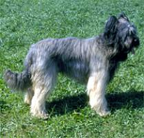 Briard Dog Breed