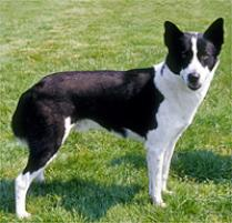 Canaan Dog Dog Breed
