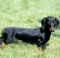 Dachsund (Miniature) Dog Breed