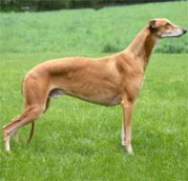 Adopt a Greyhound | Dog Breeds | Petfinder