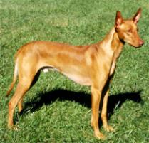 Pharaoh Hound Dog Breed