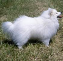 American Eskimo Dog (Miniature) Dog Breed
