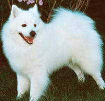 American Eskimo Dog (Toy) Dog Breed