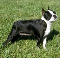Boston Terrier Dogs 101