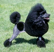 Poodle (Miniature) Dog Breed