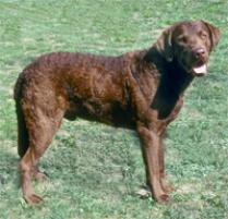 Chesapeake Bay Retriever Dog Breed