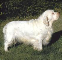 Clumber Spaniel Dog Breed
