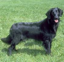 Flat-Coated Retriever Dog Breed