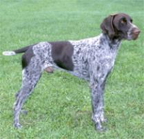 Adopt a German Shorthaired Pointer | Dog Breeds | Petfinder