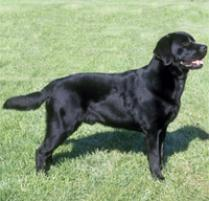 Labrador Retriever Dog Breed