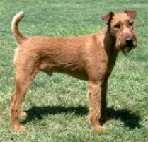 Adopt an Irish Terrier | Dog Breeds | Petfinder