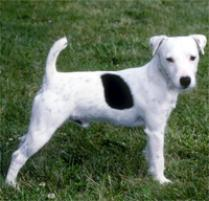 Jack Russell Terrier Dog Breed